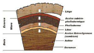 Coupe d'un tronc de chêne-liege
